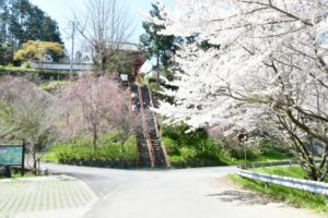 勝利寺-勝利寺前の桜、九度山町