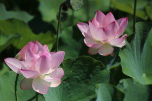 潮見坂平和公園-蓮の花