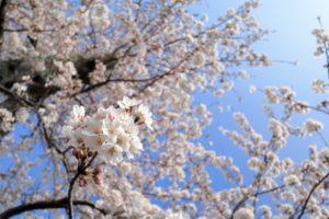 豊田水源公園-桜 3